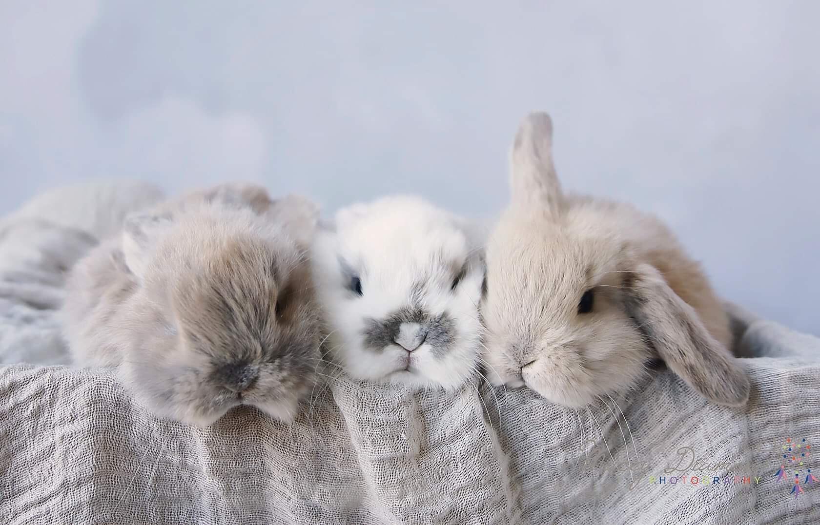 rabbits-geelong